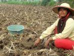 ny-maisaroh-salah-seorang-petani-tembakau-di-desa-tobungan-kecamatan-galis-pamekasan.jpg