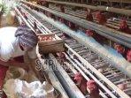 pekerja-di-peternakan-ayam-petelur.jpg