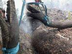 penampakan-foto-diduga-ular-anaconda-hangus-viral-di-medsos-akibat-kebakaran-hutan-di-kalimantan.jpg