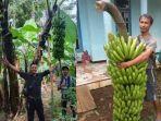 pengembangan-bibit-pisang-fhia-17-desa-simomulyo-kabupaten-malang.jpg