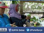 petani-buah-jambu-merah-di-desa-kradenan-kecamatan-palang-kabupaten-tuban_20160212_195844.jpg