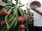 petani-buah-naga-di-banyuwangi-dapat-kontrak-150-ton.jpg