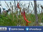 petani-cabai-di-kecamatan-tulangan-sidoarjo_20160117_233113.jpg