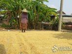 petani-di-tulungagung-menjemur-gabah-hasil-panen.jpg