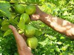 petani-jeruk-lemon-lokal-di-magetan.jpg