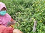 petani-memetik-cabai-di-dusun-luksongo-desa-tugurejo-kabupaten-kediri.jpg