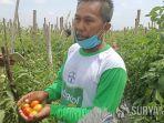 petani-tomat-di-kediri.jpg