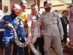 petugas-bpbd-kabupaten-tuban-menangkap-ular-sanca-kembang.jpg