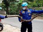 petugas-dinas-damkar-bojonegoro-saat-mengevakuasi-ular-piton.jpg
