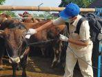 petugas-mengecek-kondisi-kesehatan-sapi-di-pasar-hewan-dimoro.jpg