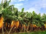 pohon-pisang_20160802_220914.jpg
