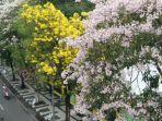 pohon-tabebuya-di-surabaya.jpg