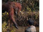 potret-orangutan-ulurkan-tangan-untuk-pria-di-sungai-viral-di-medsos-fakta-sebenarnya-buat-terenyuh.jpg