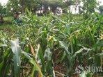 puluhan-hektare-tanaman-jagung-petani-di-tuban-diserang-hama-tikus.jpg
