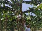 satu-pohon-pisang-di-desa-metesih-kecamatan-jiwan.jpg