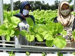 sayuran-hasil-hidroponik-warga-kedurus-surabaya.jpg