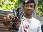 seorang-pekerja-menunjukkan-lobster-air-tawar-jenis-red-claw.jpg