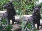 spesies-macan-dahan-yang-berada-di-batu-secret-zoo-kota-batu-tiga.jpg