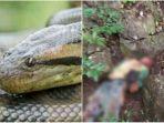 suardi-tewas-digigit-ular-piton.jpg