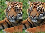 terjadi-lagi-harimau-terkam-warga-di-indragiri-hilir-riau-korban-ditemukan-tewas-mengenaskan.jpg