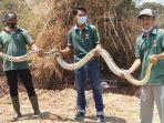 tim-animal-keeper-mazoola-mengevakuasi-ular-besar-piton-panjang-5-meter.jpg