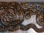 ular-phyton4_20180925_140005.jpg
