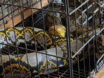ular-piton-jampirogo-mojokerto.jpg