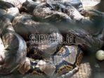 ular-piton-kembang_20180725_111729.jpg