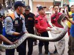 ular-piton-saat-dievakuasi-oleh-petugas-bpb-linmas-surabaya.jpg