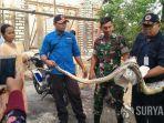 ular-piton-sepanjang-tiga-meter-dievakuasi-petugas-bpbd-tuban.jpg