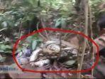 video-detik-detik-ular-pyton-8-meter-lilit-warga-saat-akan-ditangkap-dikira-batang-pohon-besar.jpg