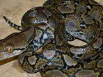 video-detik-detik-wanita-dililit-ular-piton-7-meter-hingga-tewas-di-buton-ini-kronologi-lengkapnya.jpg
