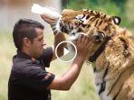 video-suami-istri-ini-pelihara-harimau-singa-dan-jaguar-lihat-akibatnya_20170109_171902.jpg