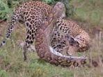 video-viral-ular-piton-bertarung-melawan-macan-tutul-terekam-detik-detik-sang-raja-habisi-piton.jpg