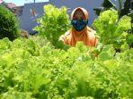 warga-rw-12-medokan-ayu-memanen-sayuran-hidriponok.jpg