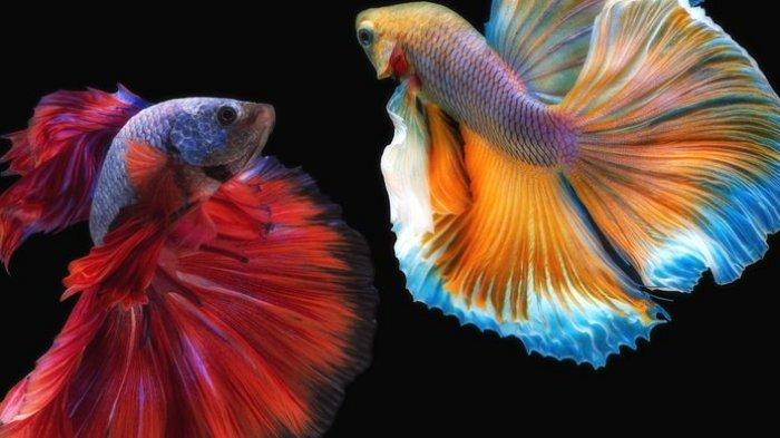 5 Tips Merawat Ikan Cupang yang Baru Dibeli Agar Hidup Lebih Lama: Justru Jangan Langsung Beri Makan