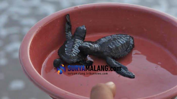 Penyu di Malang Terancam Punah, Diduga Sampah Wisatawan Jadi Penyebabnya