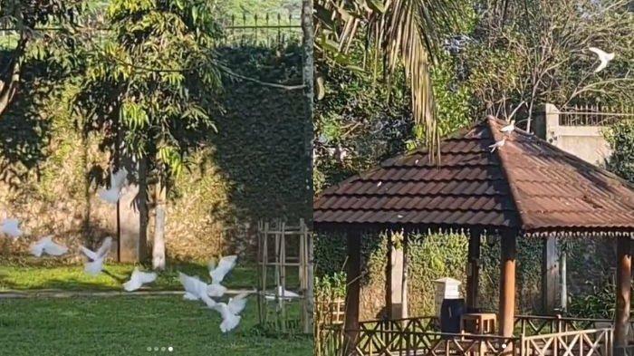 Angsa Peliharaan Mayangsari di Purwokerto