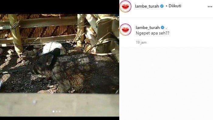 Babi yang diyakini hewan jadi-jadian diamankan Selasa 27 April 2021 viral