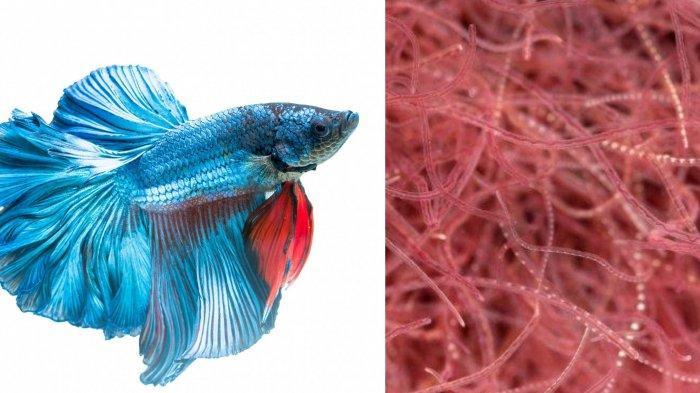 Bahaya Beri Ikan Cupang Makan Cacing Sutra Bisa Jadi Penyebab Kematian, Simak Pakan yang Bagus