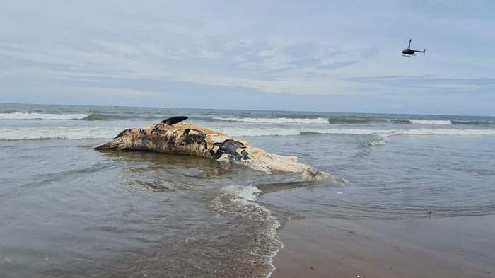 Pantai Batu Belig di Pulau Bali Dikejutkan dengan Kemunculan Bangkai Ikan Paus Sepanjang 13,8 Meter