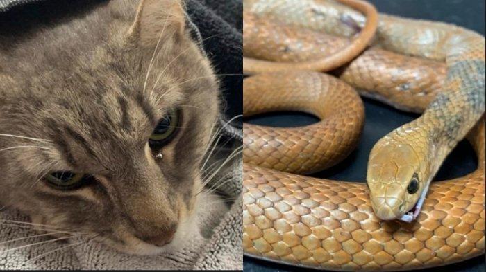 Selamatkan Majikan, Kucing ini Baku Hantam dengan Ular, Kondisinya Kini Memprihatinkan
