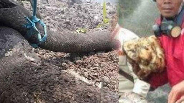 Ular Piton 4,5 Meter Mati Terpanggang Saat Erami  20 Telur, Lihat Kondisinya Saat Ditemukan, Miris