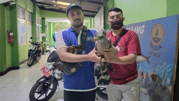 7 Pemuda Bondowoso Pilih Serahkan Satwa Dilindungi Burung Elang Ular Bido ke Petugas, Ada Ancaman UU
