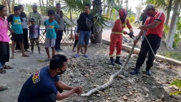 Ular Piton 3 Meter Resahkan Warga Tuban, Sempat Sembunyi di Batang Pohon saat akan Dievakuasi