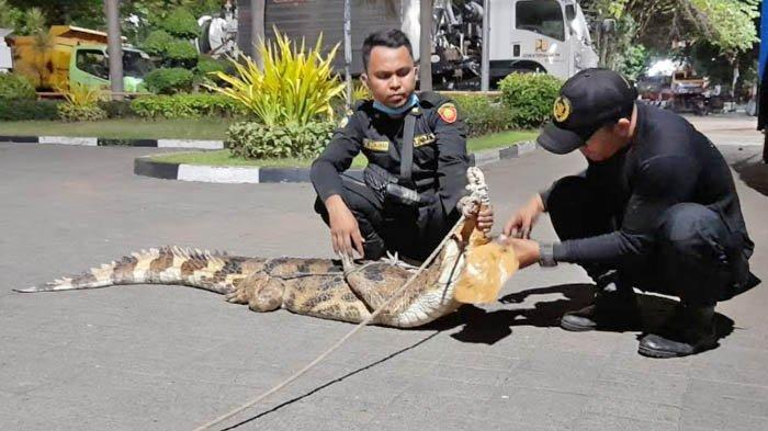 Buaya 2 Meter di Gresikan Surabaya Ternyata Peliharaan Seorang Remaja, Punya Nama 'Tio'