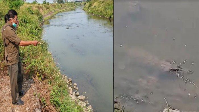 PenampakanBuayaMisterius di Mojokerto, Muncul Sebentar Lalu Menghilang di Sungai Sadar