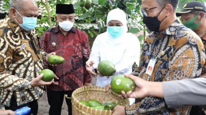 Jatim akan Dapat KUR Rp 70 Trilliun untuk Kembangkan Porang di Madiun dan Alpukat Pameling di Malang