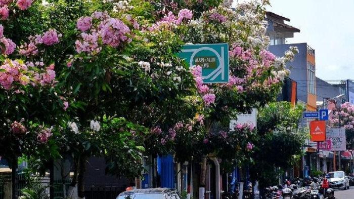 Yuk Intip Keindahan Bunga Tabebuya yang Bermekaran di Kota Batu