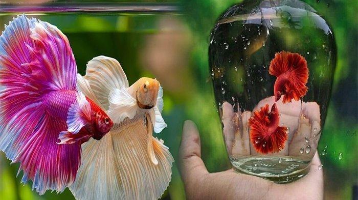 3 Bahan Alami untuk Obat Antijamur Ikan Cupang Selain Methylene Blue, Mudah untuk Didapatkan